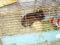 Nos animaux - GAEC du Bois Joli - Producteur de Saint-Nectaire fermier