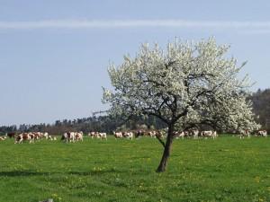 Producteur de Saint-Nectaire fermier - les vaches au pré