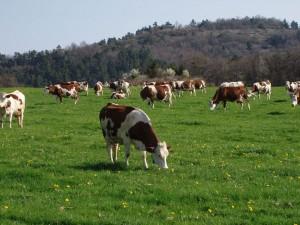 Producteur de Saint-Nectaire fermier - les vaches montbéliardes