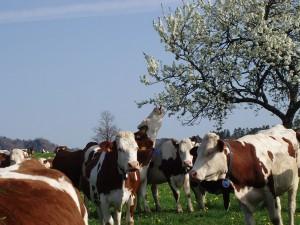Vahces montbéliardes - Saint-Nectaire fermier AOP